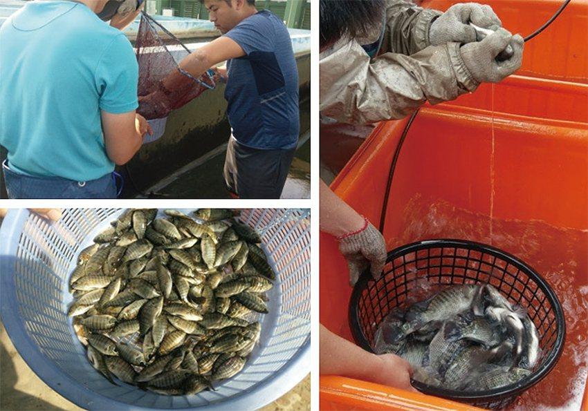 試驗魚苗挑選(左),尼羅魚秤重及外部性徵觀察(右)。 農科院/提供