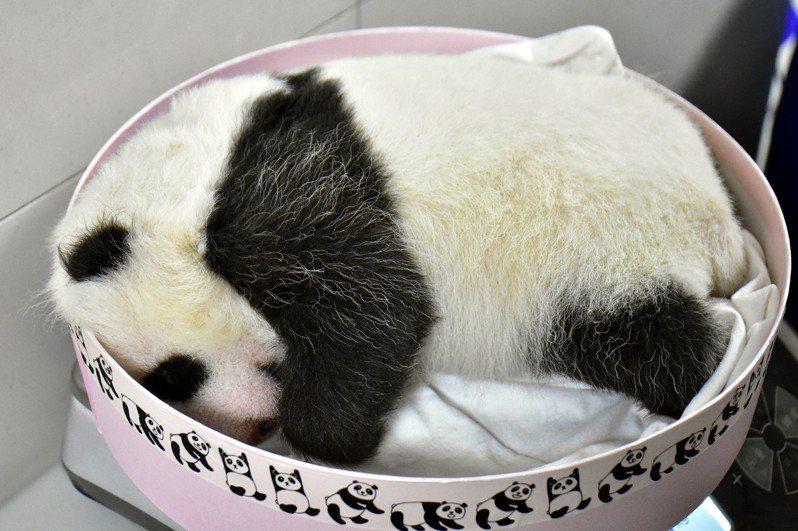 秤體重專用的盒子快要裝不下「圓仔妹」了。圖/台北市立動物園提供