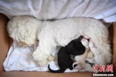 動物園黑豹寶寶遭媽媽棄養 園方找來比熊犬「當奶媽」