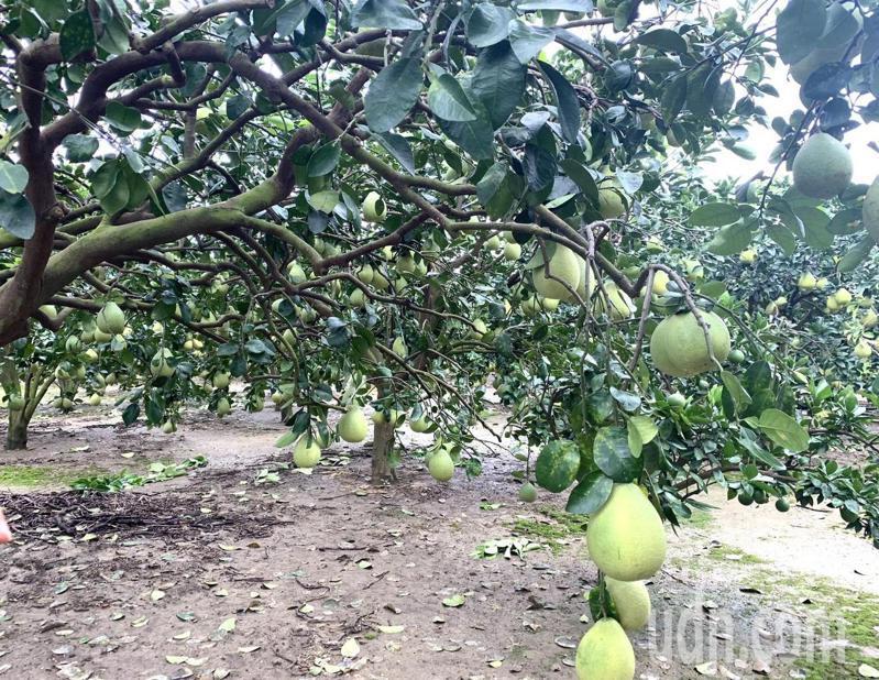 麻豆文旦將在8月下旬進入採收期。記者吳淑玲/攝影
