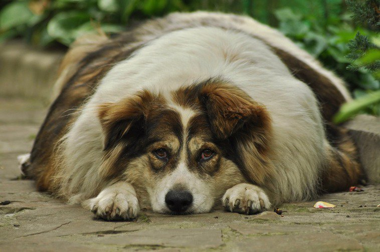 貓狗很難瘦 ,美國寵物食品協會建議四招輕鬆幫毛小孩瘦下來。圖/Pixabay圖庫