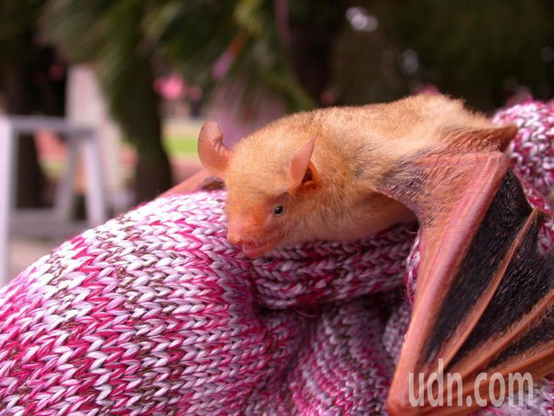 超可愛的黃金蝙蝠被譽為最漂亮的蝙蝠。圖/張恒嘉提供