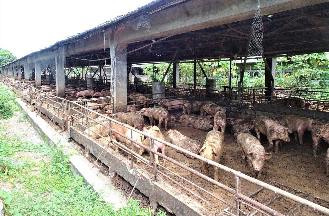 舊式開放式養殖,不時飄散豬屎臭味,飼養環境有環保與環境隱憂,一定要改。圖/報系資...