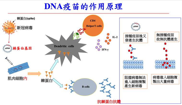 DNA疫苗把遺傳訊息打入人體,在人體細胞裡面內產生蛋白,等於對免疫系統下達訓練指...
