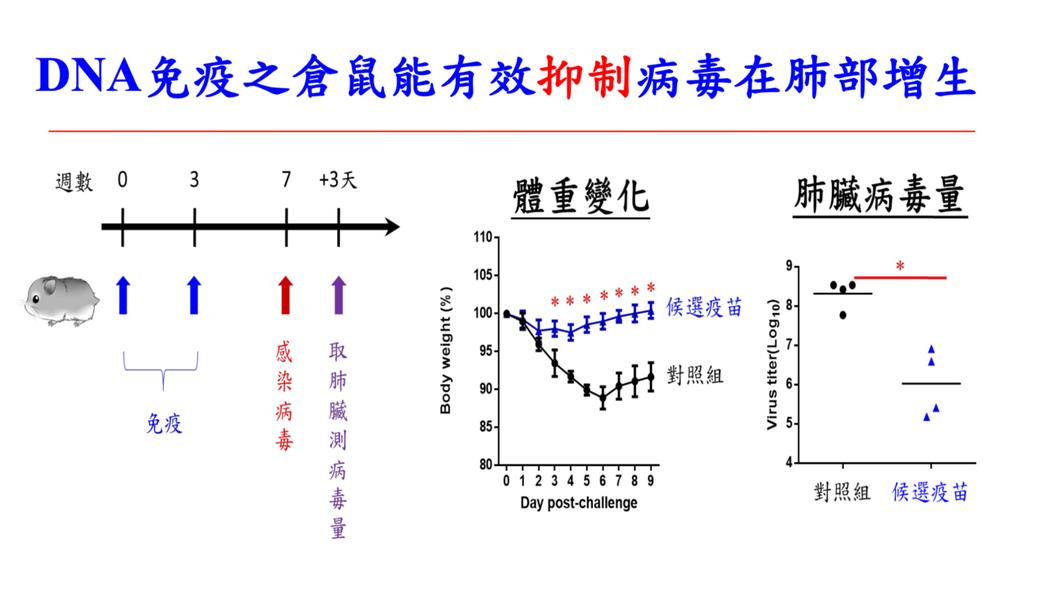 相較於未接種疫苗的倉鼠染疫後體重顯著減少一成,接受疫苗的倉鼠染疫後體重並未減少,...