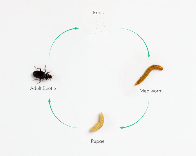 「擬步行蟲科」的成長階段共分為卵、黃粉蟲(幼蟲)、蛹與成蟲4個階段。 圖片提供/...