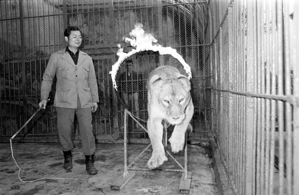台灣從前有個動物園,訓練獅子跳火圈,宣稱「運動」有助動物健康。 圖/聯合報系資料...