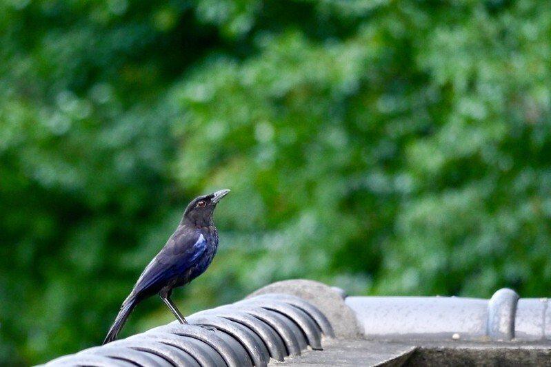 藍色鳥,我不知名