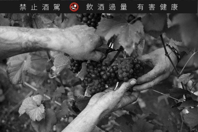 製作香檳王的葡萄,皆以手工採收。圖/Dom Pérignon提供
