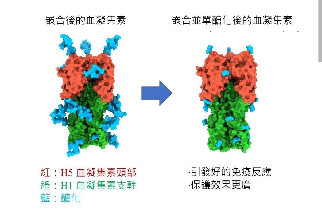 「單醣化嵌合血凝集素(chimeric HA)蛋白疫苗」示意圖。圖/中研院提供
