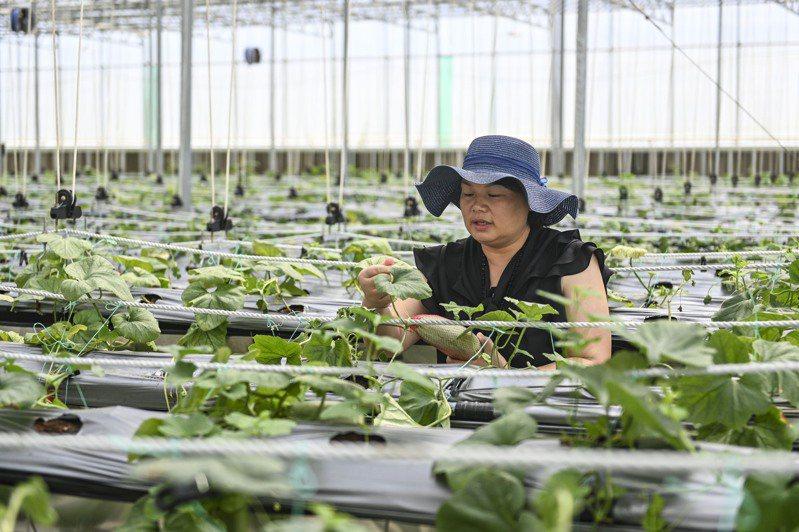 廣州市花都區赤坭鎮的溫室種植基地裡,工作人員檢查種植瓜果的品質。(中新社)