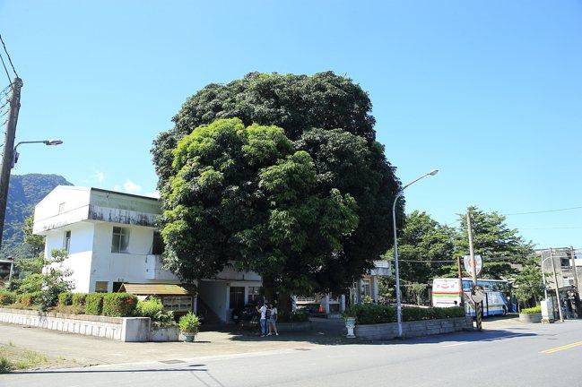 名導齊柏林曾在春日派出所前的芒果樹下休息,讓此樹被暱稱為「齊柏林樹」。記者陳睿中...