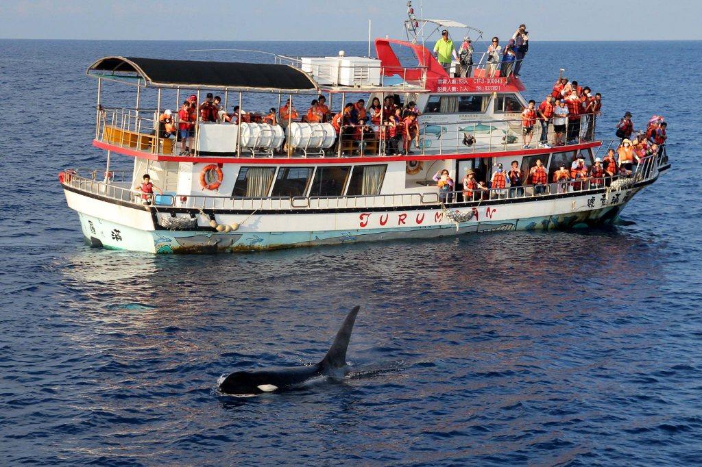 賞鯨行為產業化後,賞鯨亂象亦層出不窮,但也成反思海洋教育的契機。圖與本爭議案件無關。 圖/多羅滿賞鯨提供