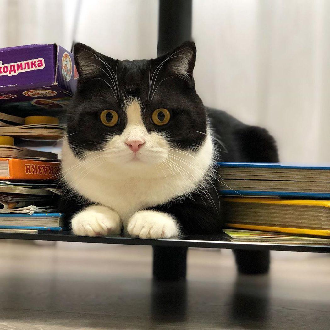 曼徹斯特今年快要2歲、腳長約10公分,貓主人是英超曼聯隊鐵粉,因此得名。畫面翻攝...