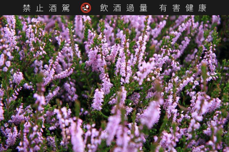 石楠木是種遍佈在蘇格蘭的低矮灌木,花朵呈現紫色,香氣帶獨特木質調。圖/摘自tre...