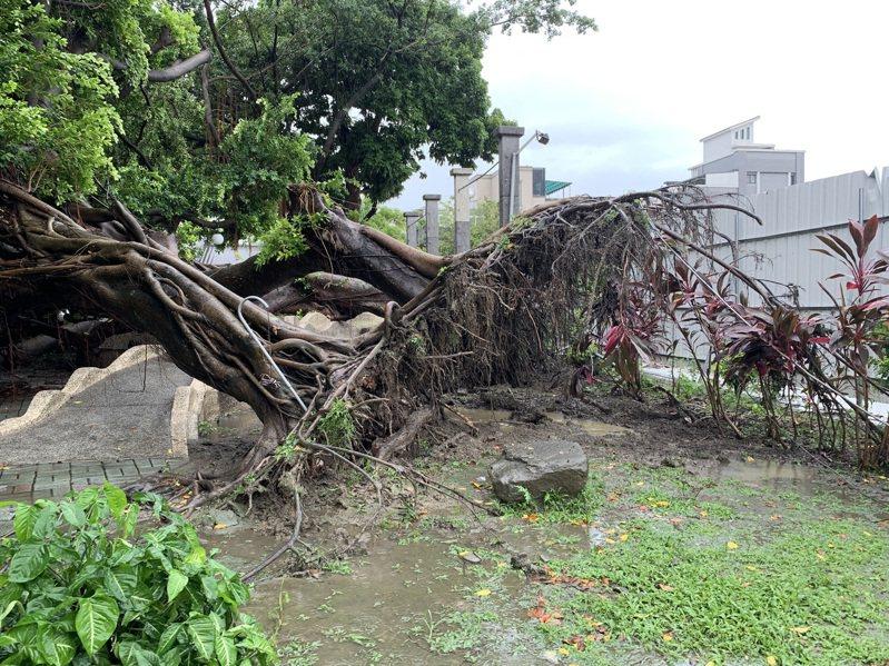 屏東市孫立人行館旁的廣場榕樹,上周大雨過後倒塌,確認感染褐根病。圖/屏東縣府勞動處提供