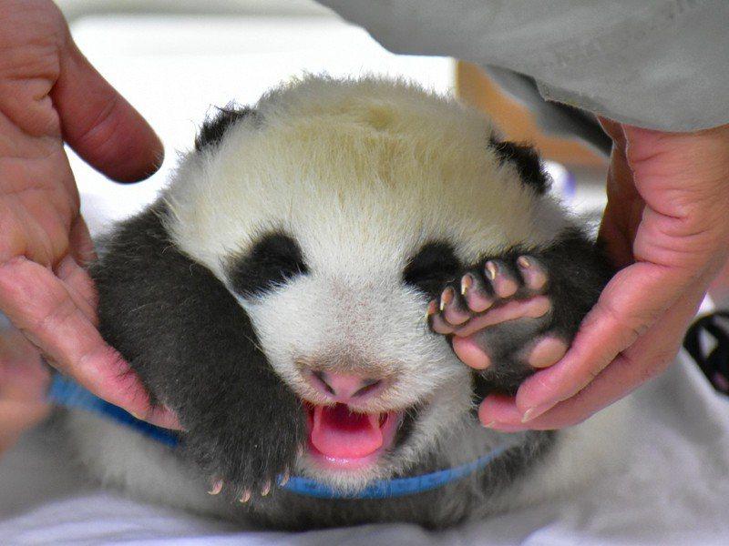 獸醫師替「圓仔妹」量測腰圍。圖/台北市立動物園提供