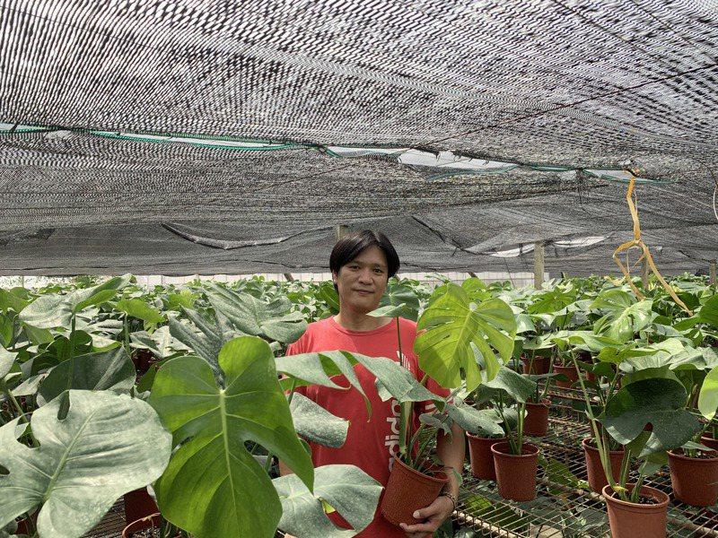 曾穎浩種植超過百種觀葉植物,今年就屬龜背芋正夯,產地價只要100元,到北部市場瞬間身價翻倍。記者巫鴻瑋/攝影