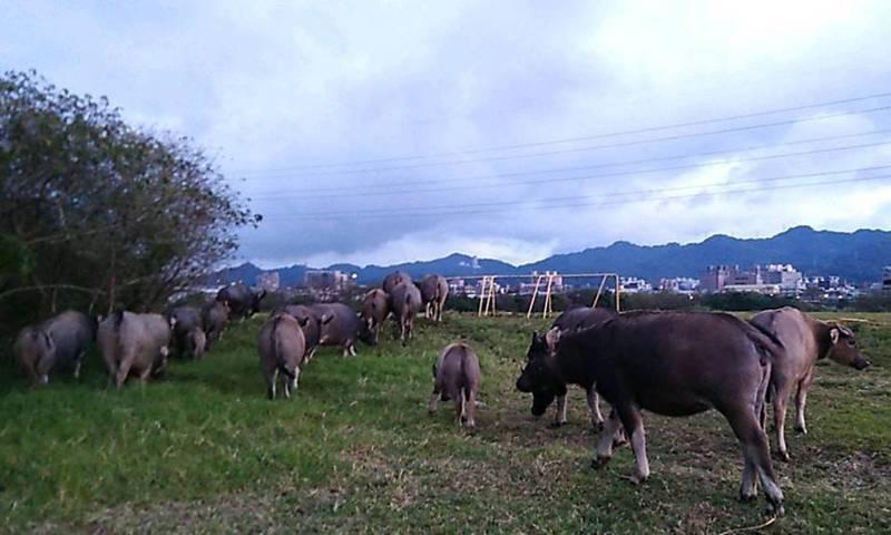 一名70歲左右的飼主,長年將牛隻放牧在大漢溪土城、樹林、三峽一帶河川地。圖/高管處提供