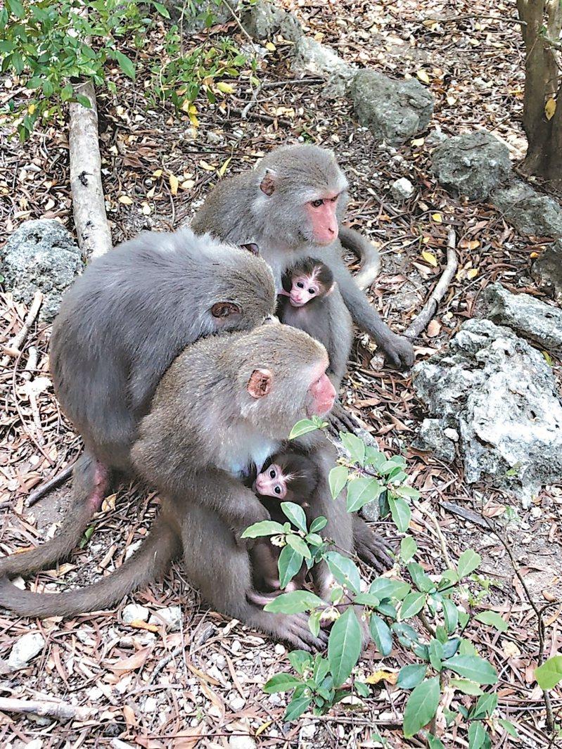 高雄壽山有豐富台灣獼猴生態。 圖/高雄市環保局提供