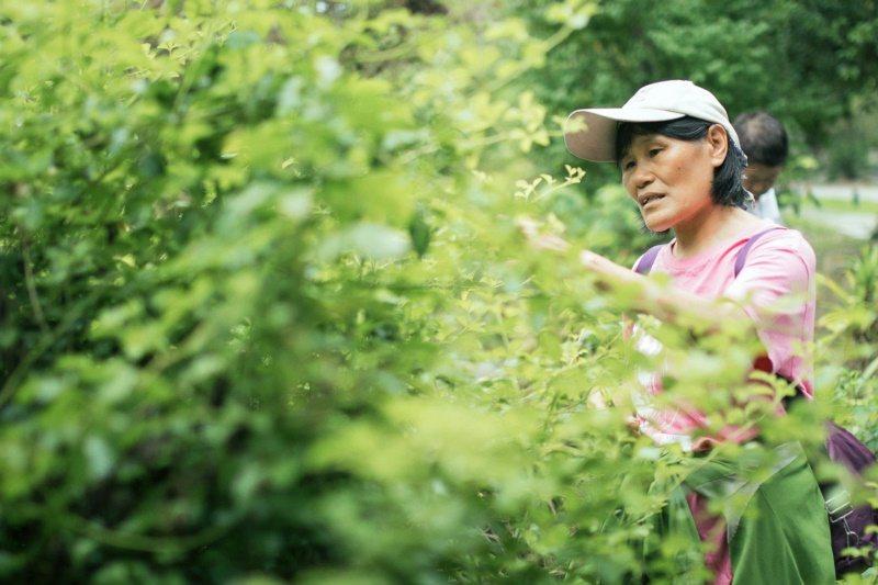跟著鹿鳴酒店員工玉桂姐逛飯店附近的自然農法菜園,認識植物,過程寓教於樂。記 圖/...