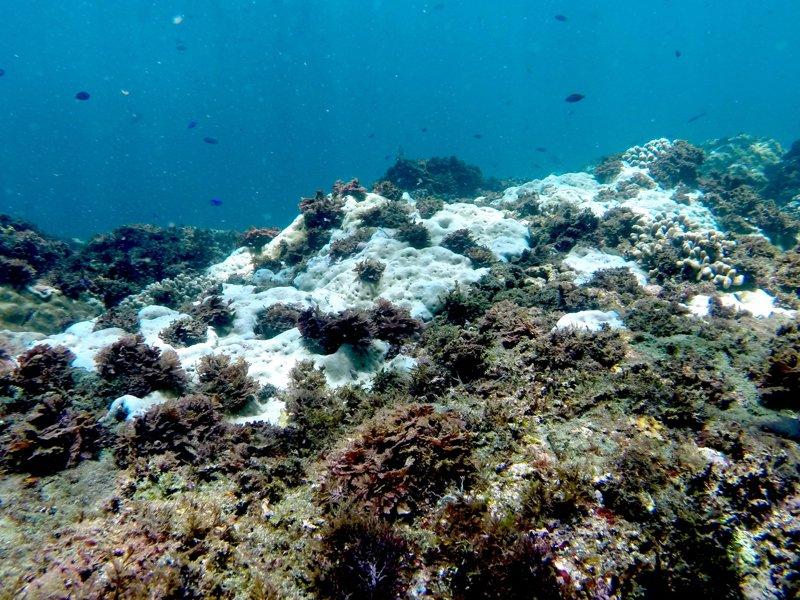 潛水愛好者對東北角龍洞灣海底珊瑚因連日高溫白化,出現癩痢頭感到憂心。記者牟玉珮/攝影