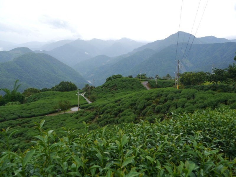 高雄藤枝山區是產茶區,「烏龍茶步道」可見翠綠茶樹沿路陪伴。 圖/徐白櫻 攝影