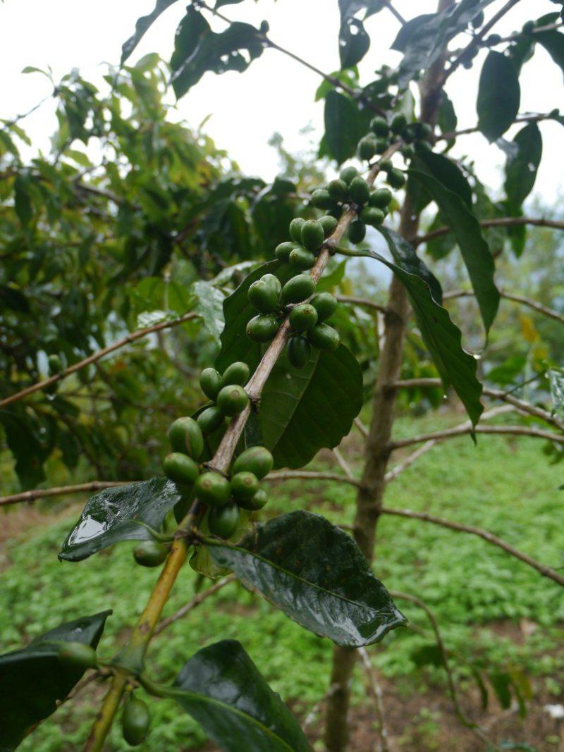 高雄藤枝山區種植不少咖啡樹,二集團咖啡很受歡迎。 圖/徐白櫻 攝影