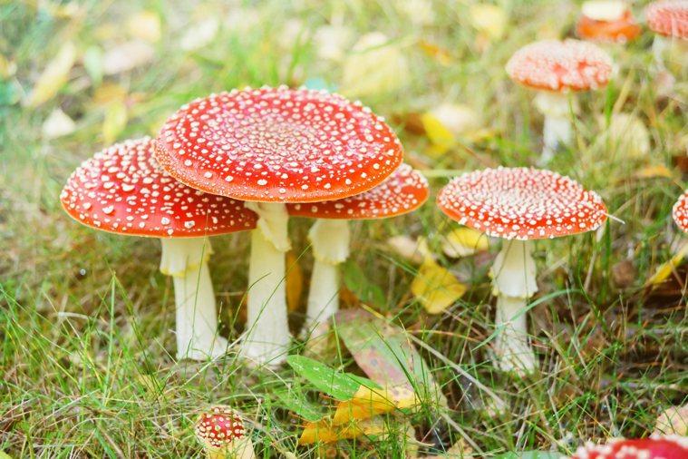毒蘑菇。圖/ingimage