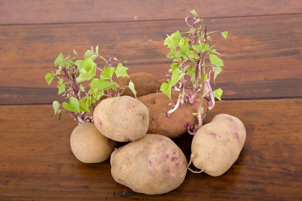 發芽的馬鈴薯。圖/ingimage