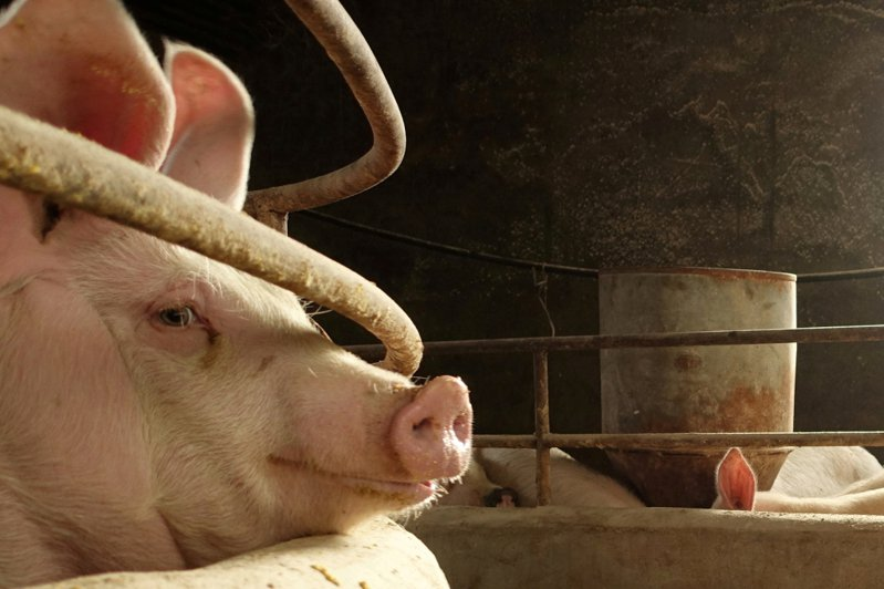 大陸正研發非洲豬瘟疫苗。路透