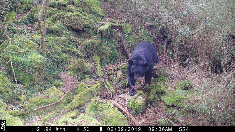 林務局建立中大型哺乳動物族群監測網,拍到台灣黑熊的相機點位有所增加。圖/林務局提供