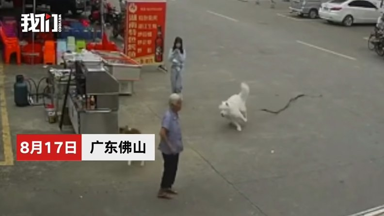 一名女孩在街上遛一隻白狗,白狗見另一隻無人牽引的狗,奔跑追逐,女孩拉不住。數秒後,白狗所掛的牽繩將一名白髮老婦絆倒在地。圖/截自「我們視頻」