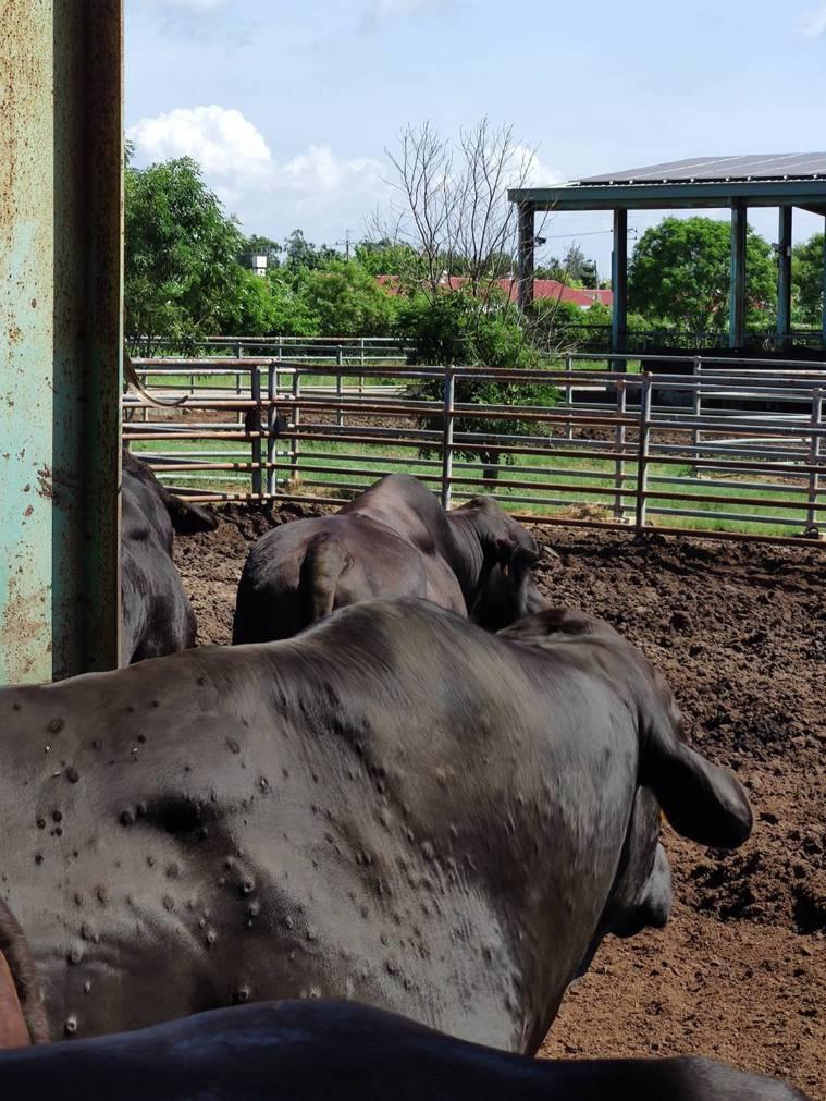 金門爆發牛結節疹確診案例,農委會展開疫苗施打,至今已多天無案例出現。圖/防檢局提...