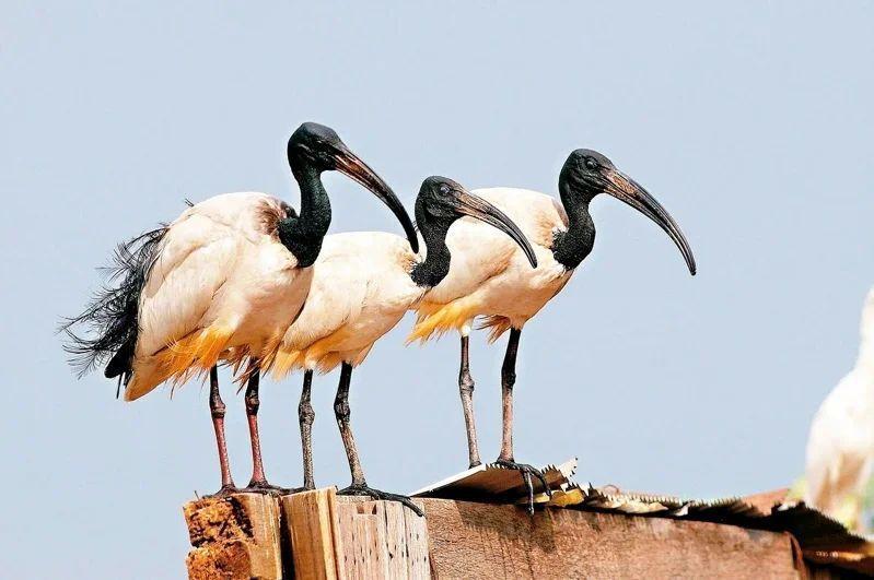 外來種埃及聖鹮特徵嘴巴長又黑,像把尖尖的大鐮刀,被稱為巫婆鳥。 圖/林務局提供