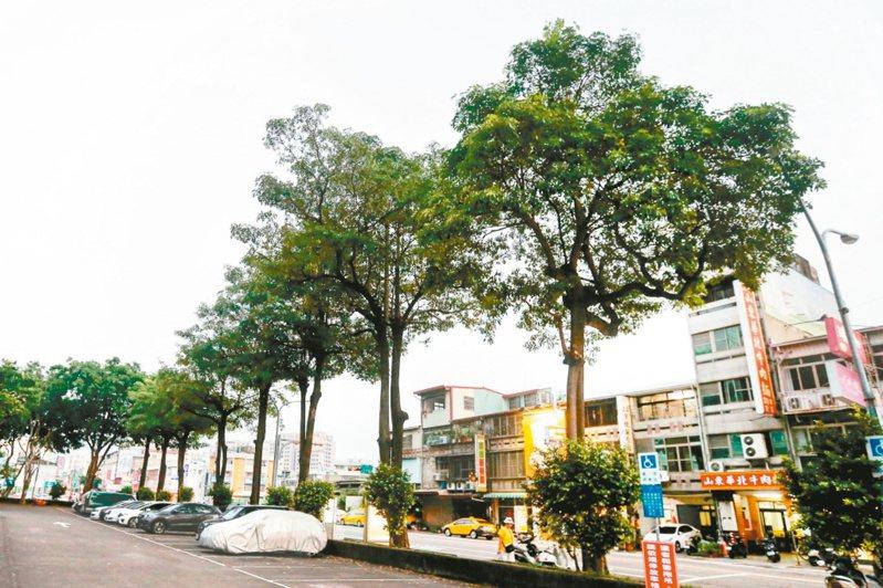 街道、校園多選種黑板樹,數十年後出現「黑板樹之患」,除了刺鼻難聞,樹根還容易造成地表隆起。 圖/聯合報系資料照片