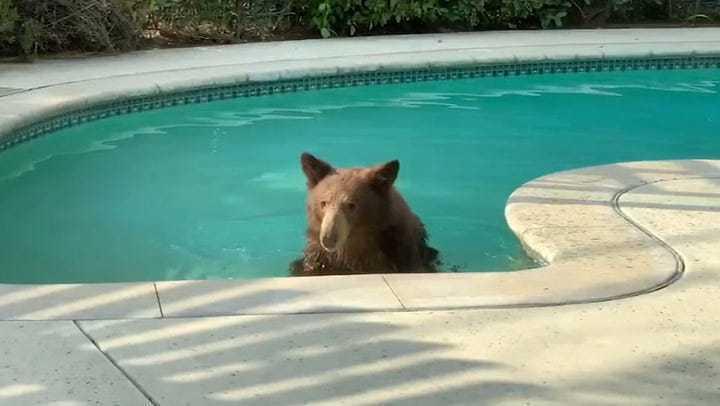 一隻棕熊難耐高溫,闖進加州一戶人家的泳池泡水降溫。圖擷自ABC news