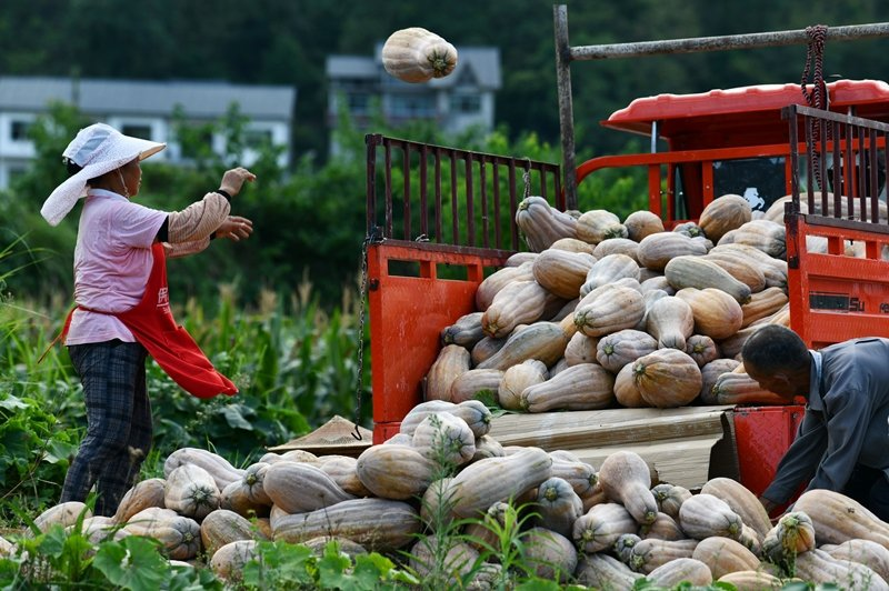 在瘟疫與洪災肆虐當下,中共當局8月發布夏糧收購進度,顯示許多省分收成銳減。示意圖,攝於8月12日,貴州。 圖/新華社