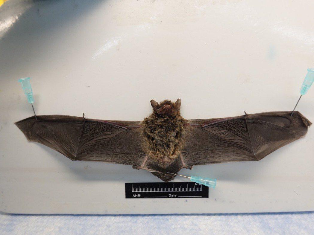 基隆蝙蝠驗出麗沙病毒。圖/防檢局提供