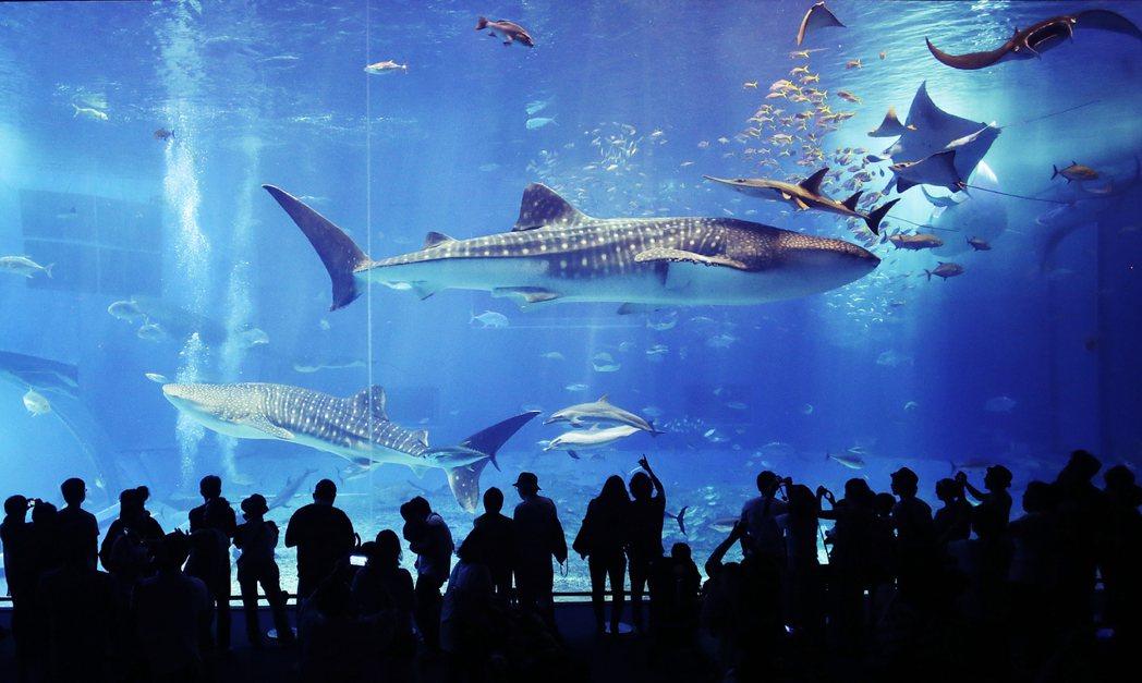 沖繩的美麗海水族館。 圖/美聯社