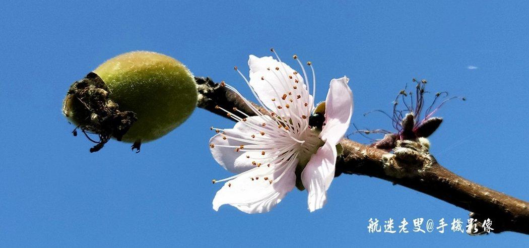 部落中早熟的李花已耐不住寂寞率先開放了,雖然開花的品種不多卻也部落增添了幾分春的氣息。