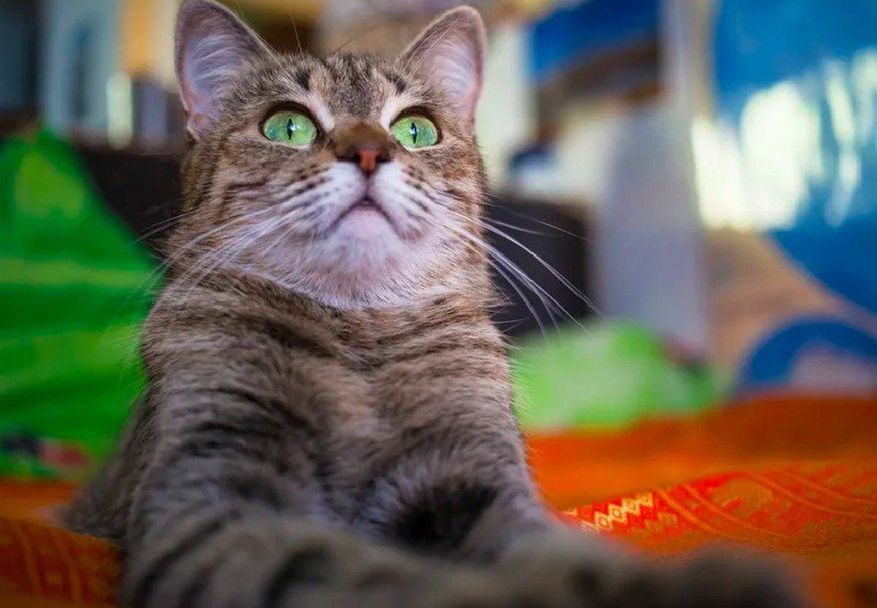 貓咪的鬍鬚對牠們來說是很重要的感覺器官。示意圖/ingimage