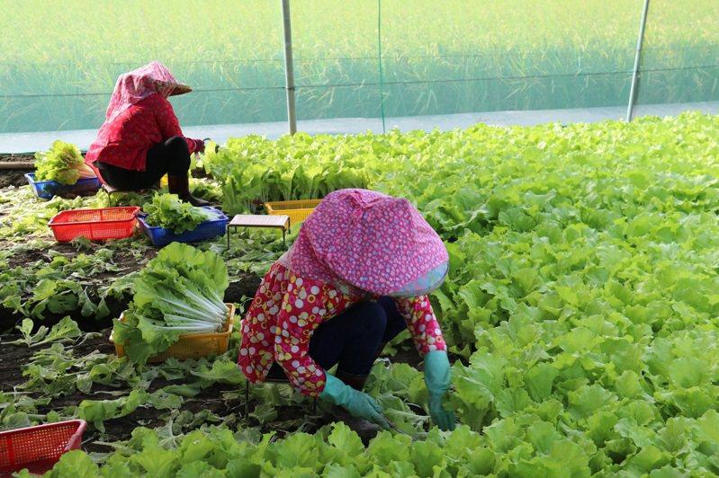 巴威颱風今發布海上颱風警報,委會呼籲農民盡速採收果菜以防農損,尤其是已屆採收期的文旦柚、番石榴、香蕉、梨、木瓜、葡萄、釋迦及檸檬。圖/農委會提供