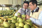 影/黃偉哲挑好吃的麻豆文旦 專家:把握3個原則