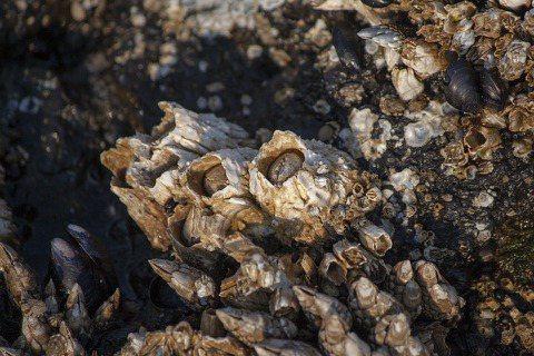 藤壼,是一種跟蝦蟹算近親的甲殻類生物,你可以在潮間帶的礁石、碼頭邊泡在水裡的柱子...