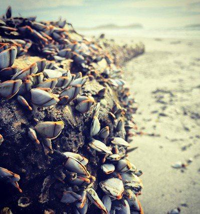 藤壼的種類多達千種,藤壼的生長速度,跟牠的種類、地點與所在的海溫都有關係。 圖/...