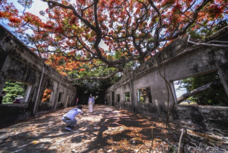 蔡宗武在湖內警分局附近拍攝百年鳳凰木美景,廢棄的「柑仔蜜會社」已成為季節性爆紅景...