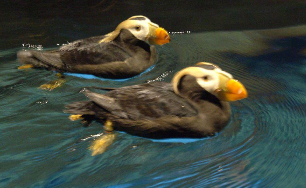 海鸚鵡進入繁殖季換上亮麗羽毛。  屏東海生館 提供