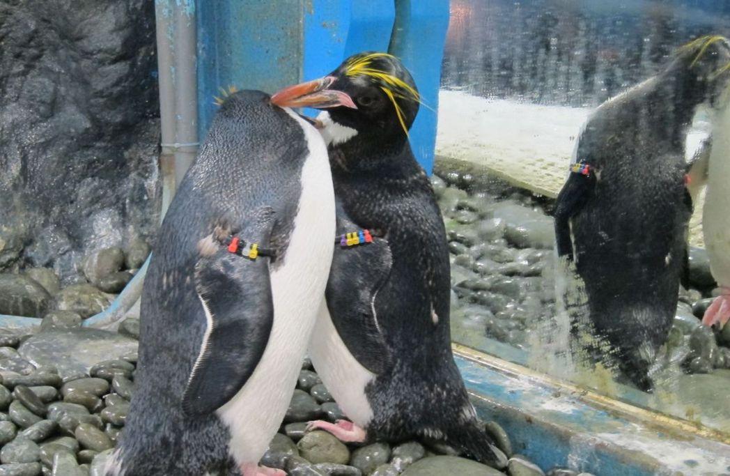 馬可羅尼企鵝曬恩愛。  屏東海生館 提供