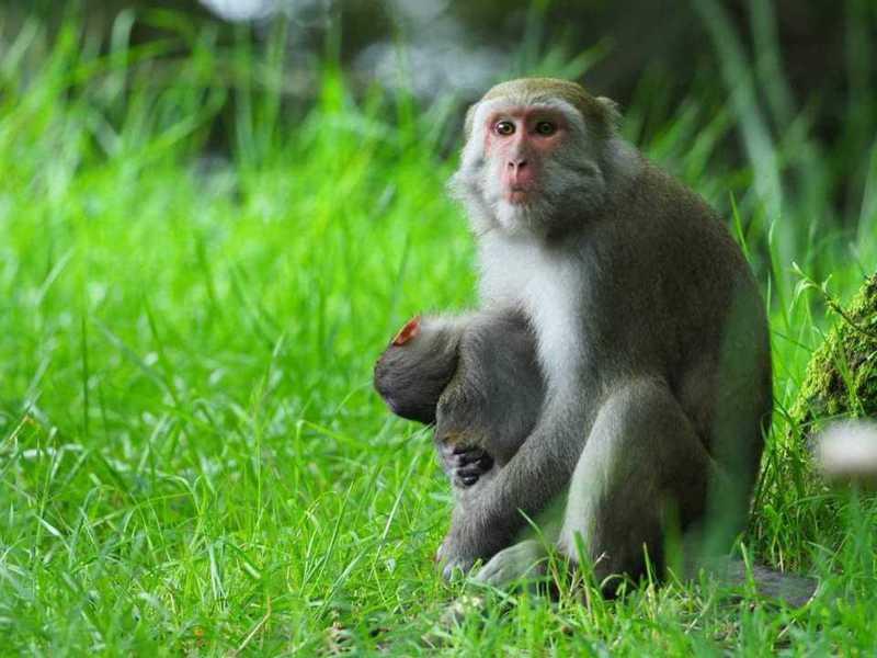 玉山塔塔加母猴,日前因一隻死亡的幼猴,短期因為不捨大概都會帶或抱在身邊,覓食時,都把死亡小猴放在身邊或馬路上。圖/玉山國家公園提供
